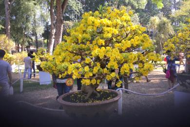 Những cây mai vàng đẹp tại hội hoa xuân tao đàn 2018 phần 2