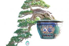 Danh sách tác phẩm đạt giải do các Nghệ Nhân Quốc Tế chấm thi (Bonsai Trung)