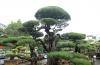 Vườn cây triệu đô của ông vua phi lao đất Bắc
