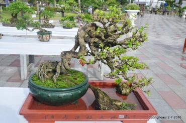 Rễ chân nơm trong tạo tác Bonsai