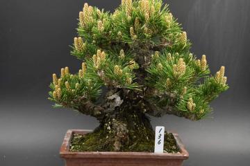 senjumaru black pine