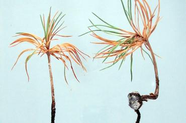 Bệnh nấm cây thông đen Nhật Bản