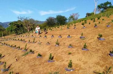 Cách trồng thông đen trên rổ thả xuống đất