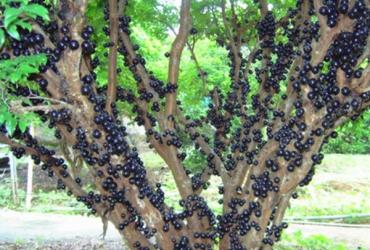 Cây nho thân gỗ đang ra quả
