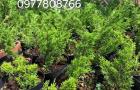 Cây giống Itoigawa Nhật Bản