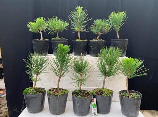 Lô 10 cây thông đen Mikawa Nhật