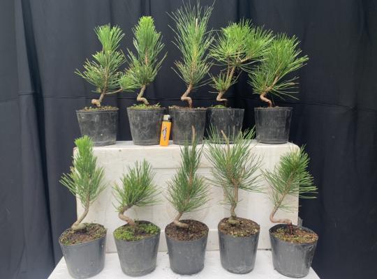 Lô 10 cây thông đen Mikawa