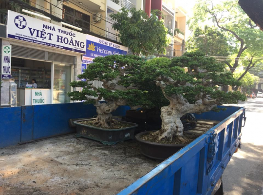 Bonsai Đài Loan