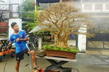 Tuyệt phẩm Mai chiếu thủy Malaysia