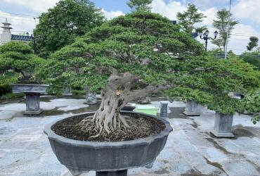 Khu vườn mơ ước của người đam mê Bonsai